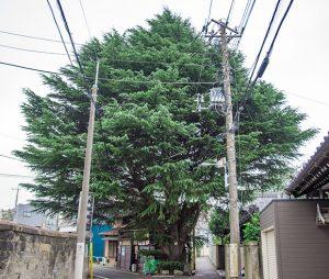 【日暮里駅】森の案内人と巡る。樹齢600才の巨木と谷根千をご案内!