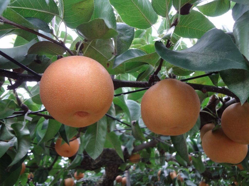 【果物の秋】親子で楽しめる!山口果物狩りスポット特集 ...
