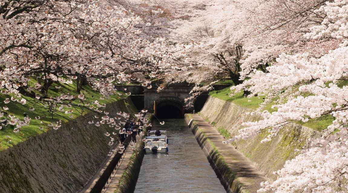 春のインクラインの桜